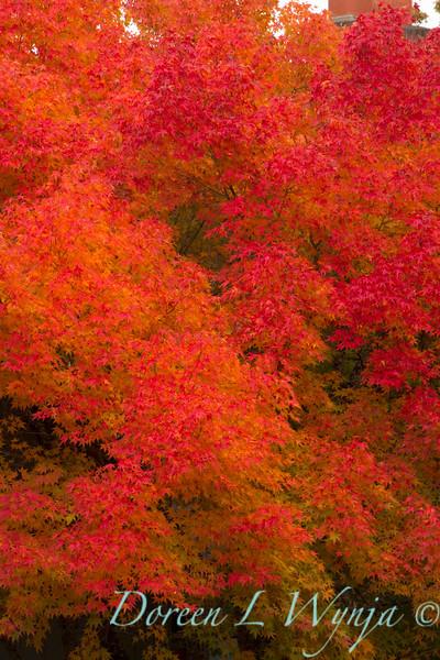 Acer palmatum_1799