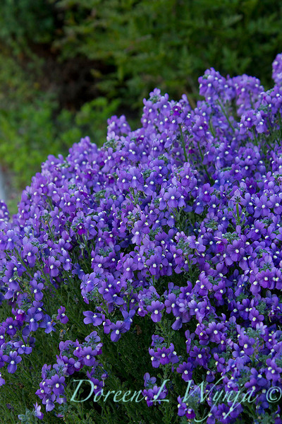 Nemesia Aromatica Royal Blue_009