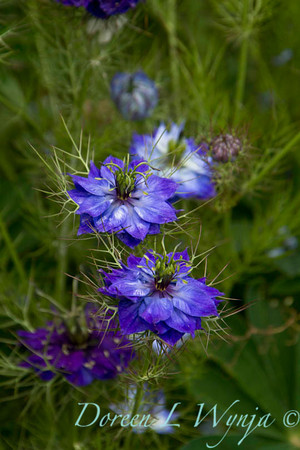 Nigella damascena_014