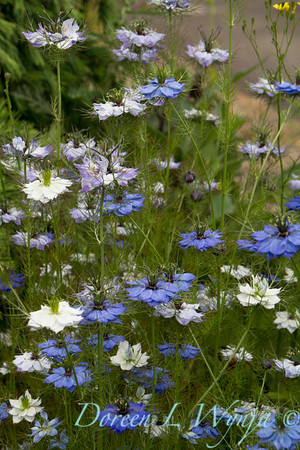 Nigella damascena_011