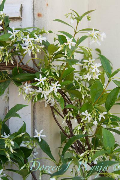 Trachelospermum jasminoides_072