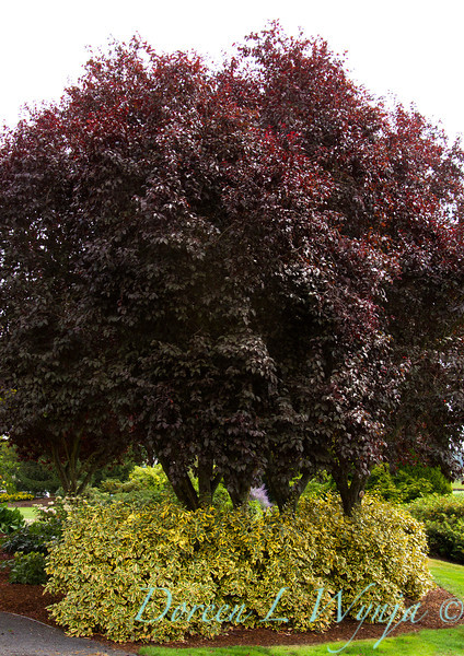 6688 Prunus cerasifera Thundercloud_012