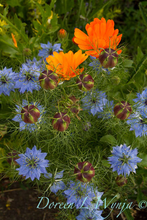 Nigella damascena_3135