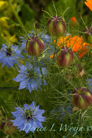 Nigella damascena_3138