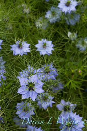 Nigella damascena_002
