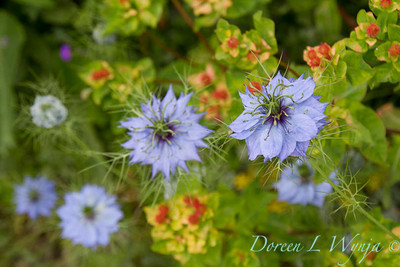 Nigella damascena_015