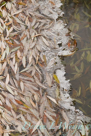 Swriling leaves in ice_9258