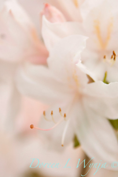 Azalea White Light_024
