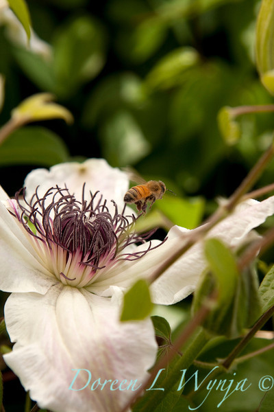 Honey Bee White Clematis_016