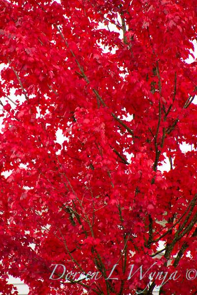 Acer rubrum Autumn Radiance_002_Doreen L Wynja