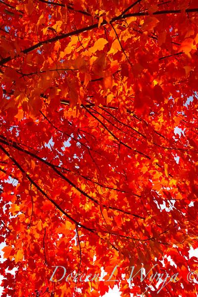 Acer rubrum Autumn Radiance_032_Doreen L Wynja