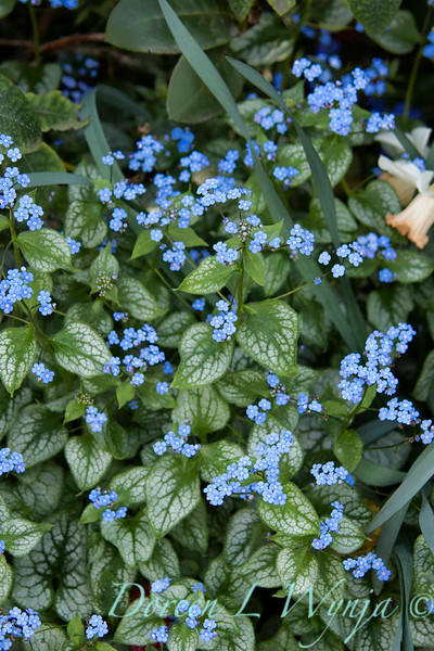 Brunnera macrophylla Jack Frost_001_Doreen Wynja