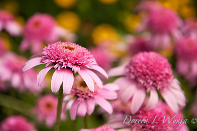 Echinacea purpurea Pink Double Delight_006