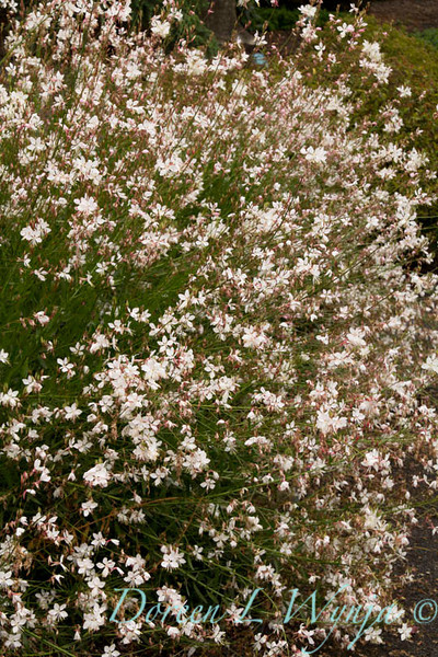 Gaura lindheimeri Summer Breeze_020_Doreen Wynja
