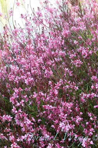 Gaura lindheimeri Pink Cloud_009_Doreen Wynja
