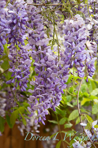 Wisteria floribunda Texas Purple_007