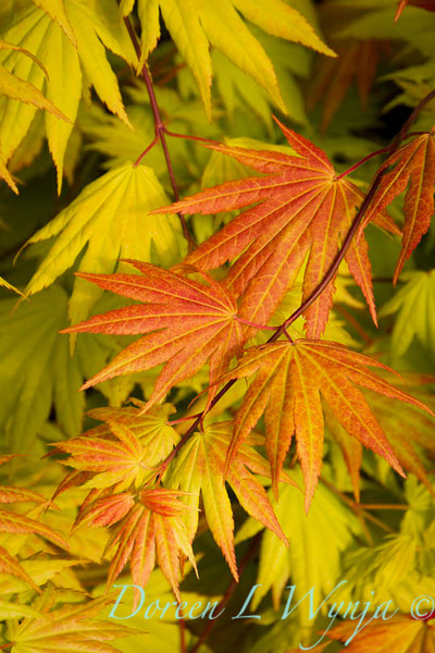 Acer shirasawanum Autumn Moon_9602