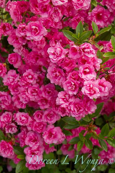 Azalea Kim's Double Pink_8486