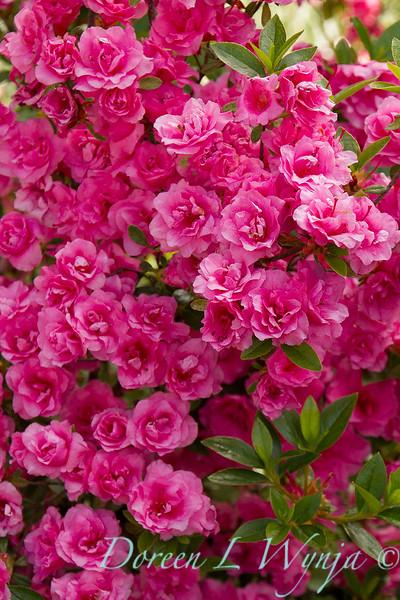 Azalea Kim's Double Pink_8489