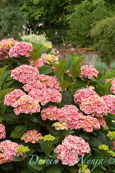 4228 Hydrangea macrophylla Monrey_011