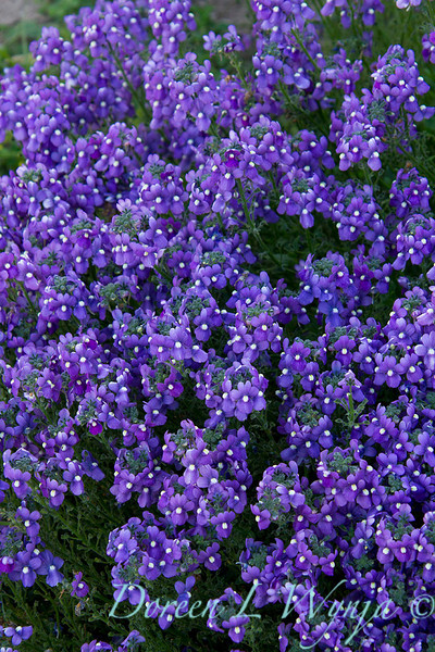 Nemesia Aromatica Royal Blue_007