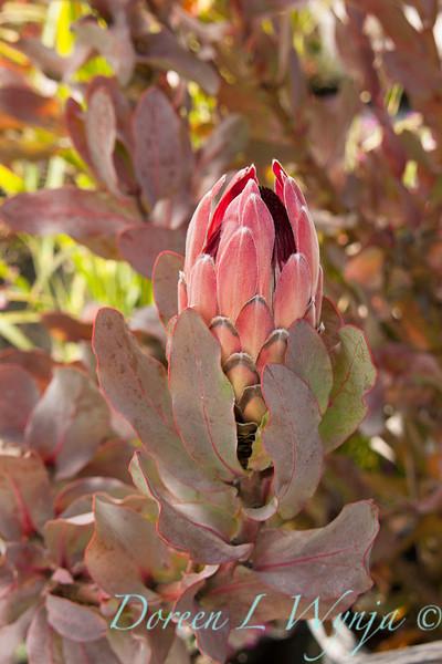Protea eximia_002