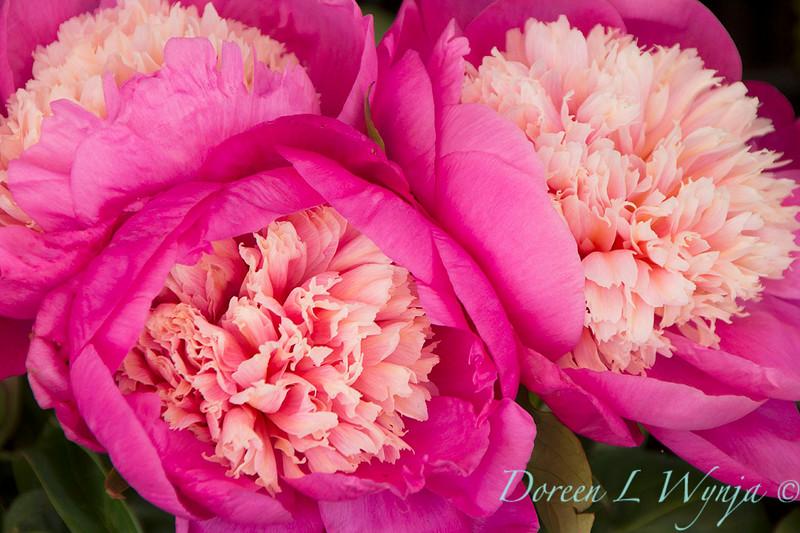 Paeonia - Peony flowers_2410