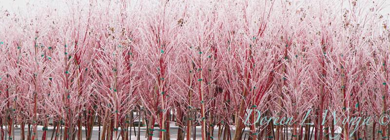 Acer palmatum Sangokaku - Frost_9214