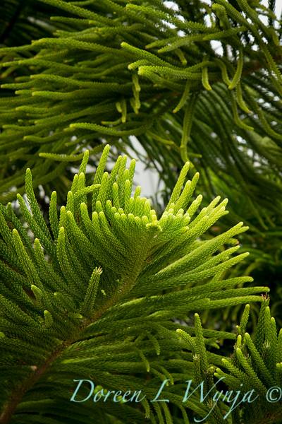 Araucaria columnaris_004