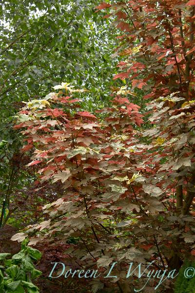 Acer pseudoplatanus Eskimo Sunset_Doreen Wynja_023
