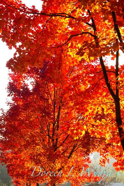 Acer rubrum Autumn Radiance_025_Doreen L Wynja