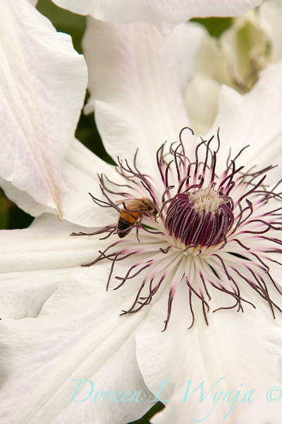Clematis with bee_013