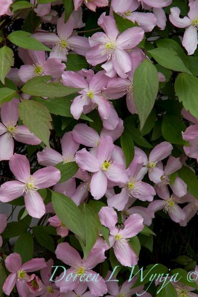 Clematis montana rubens_024