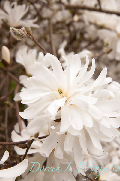 Magnolia stellata_021