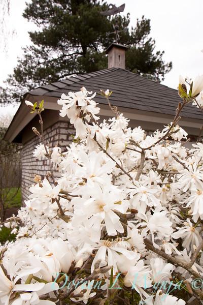 Magnolia stellata_045