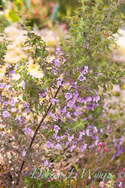 Prosanthera rotundifolia Ghost Cave_002
