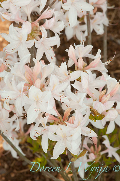 Azalea White Lights_006