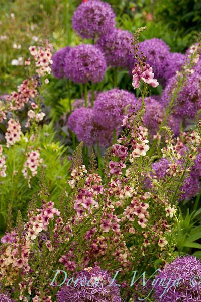 Verbascum hybrids Allium 'Globemaster'_Doreen Wynja_073_Doreen Wynja