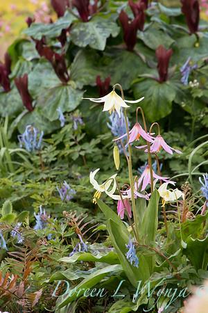 Erythronium revolutum and E oregonum wetlands garden_1856