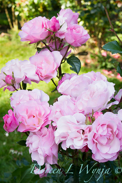 Pink roses_930